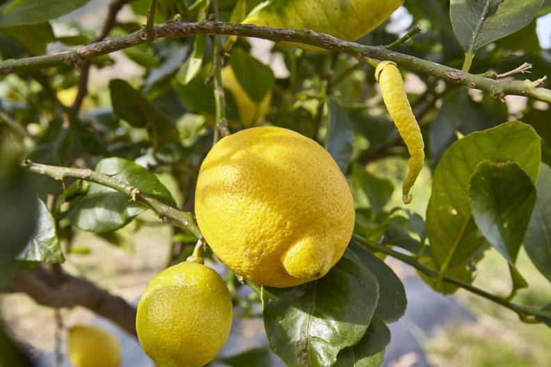 Vor der Ernte der Zitronen