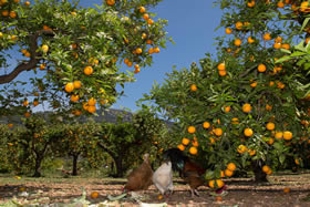 Idyllic: hens under the orange trees