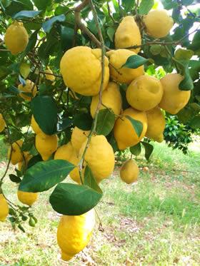 Reiche Ernte: Reife Zitronen am Baum