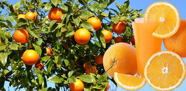 Es ist Sommer - auch für unsere naturbelassenen Orangen