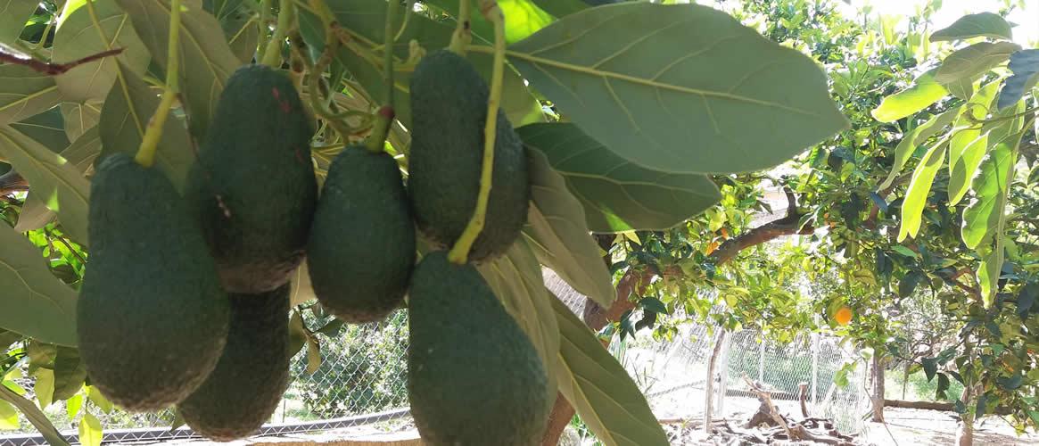 Avocados aus Mallorca 1kg