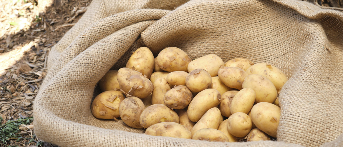 Mini pommes de terre BIO fraîchement récoltées à Majorque