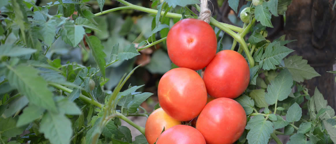 Ramallet tomatoes on a rope