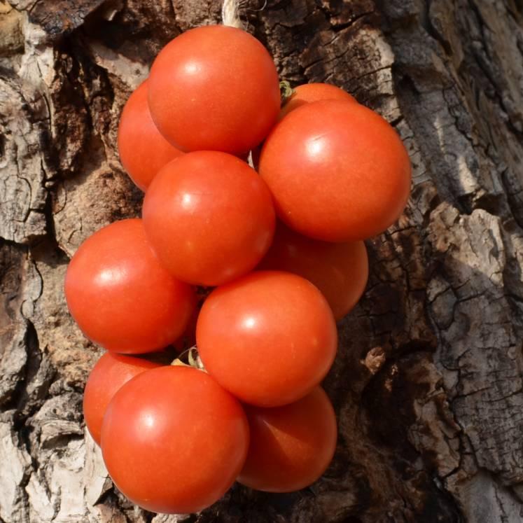Ramallet Tomaten am Strang