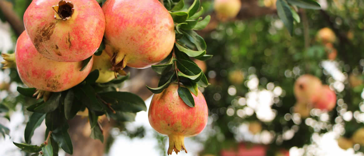Granatapfel 1kg