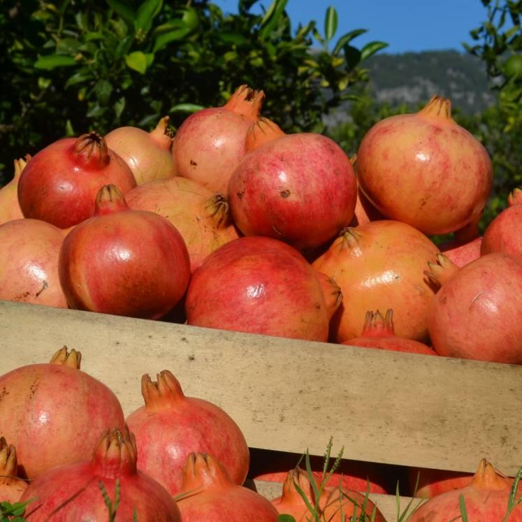 Granatapfel 10kg Kiste