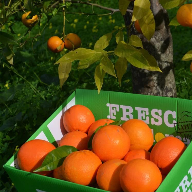 Orangen Abo 5 x 15kg Kiste