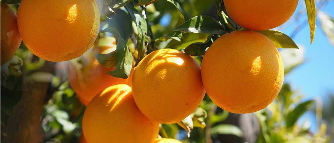 ValenciaLate Orangen 10kg Kiste