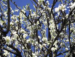 Die Mandelblüte findet von Januar bis März statt