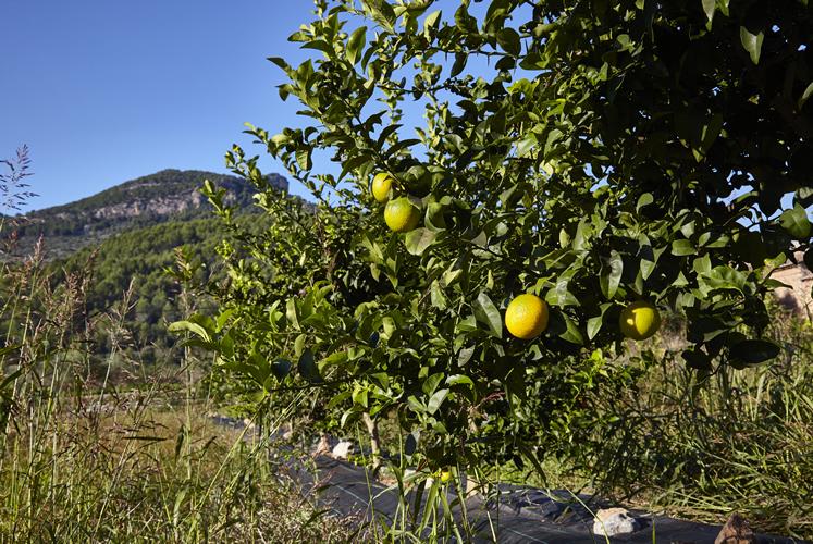 Baumpflanzung Fet a Sóller, Oktober 2020