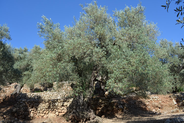 World Heritage Tramuntana with olive grove