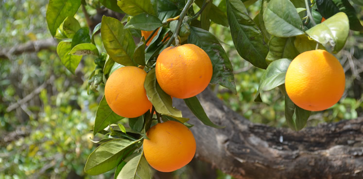 Everything begun with the orange trees