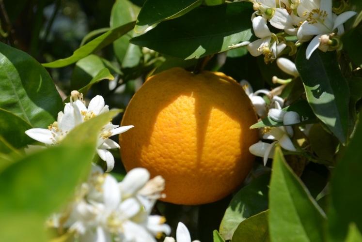 Ein blühender Valencia-late-Orangenbaum im April