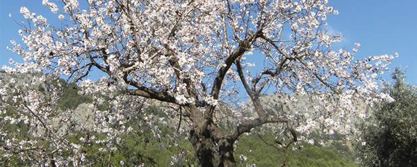 Die Mandelblüte verzaubert Mallorca.