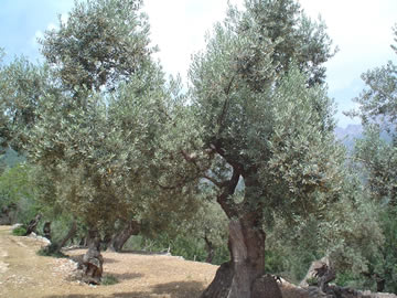 Olivenbäume nahe Sóller