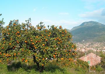 Orangenplantage über Sóller/Mallorca